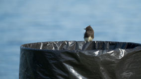 Phoebe Bird Perched preta na lata de lixo Fotografia de Stock Royalty Free