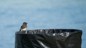 Phoebe Bird Perched preta na lata de lixo Imagens de Stock