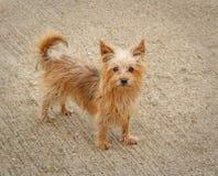 Phoebe hunden för yorkshire terrier Arkivbild