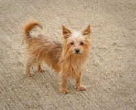 Phoebe il cane dell'Yorkshire terrier Fotografia Stock