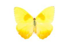 phoebis philea πεταλούδων κίτρινα Στοκ Εικόνα