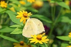 Phoebis philea aka Orange Barred Sulphur butterfly. On a yellow flower Stock Photo