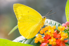 Phoebis Philea Butterfly Royalty Free Stock Photography