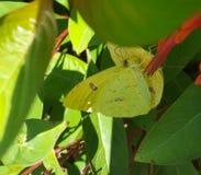 Phoebis-sennae Schmetterlinge auf Texas-firebush Lizenzfreie Stockfotografie