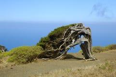 Phoenicea del Juniperus Imágenes de archivo libres de regalías