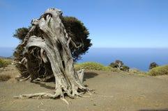 Phoenicea del Juniperus Fotografía de archivo libre de regalías