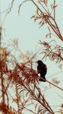 Phoeniceus voado vermelho do Agelaius do melro Fotos de Stock Royalty Free