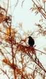 Phoeniceus voado vermelho do Agelaius do melro Imagens de Stock Royalty Free