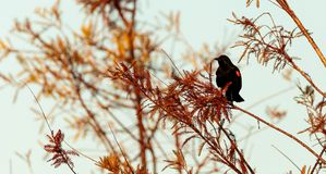 Phoeniceus voado vermelho do Agelaius do melro Foto de Stock