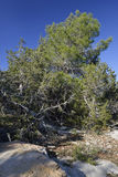 Phoenician Juniper Forest Royalty Free Stock Photo