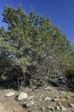 Phoenician Juniper Forest Stock Photos