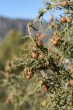 Phoenician juniper, Juniperus phoenicea Royalty Free Stock Photos