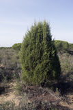 Phoenician juniper tree, Juniperus phoenicea Stock Photography
