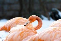 Phoenico-pterus ruber (Flamingo) Stockbilder