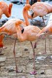 Phoenico-pterus ruber (Flamingo) Lizenzfreie Stockfotos