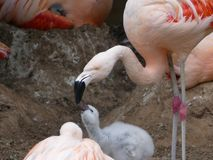 Phoenicopteridae - a young Flamingo chick being fed. By the adult Flamingo royalty free stock photography