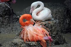 Phoenicopteriformes Stock Images