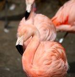 phoenicopterus chilensis flaminga phoenicopterus Zdjęcia Stock