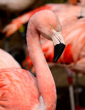 phoenicopterus chilensis flaminga phoenicopterus Fotografia Royalty Free
