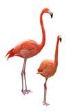 Phoenicopterus Stock Photography
