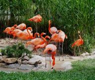 Phoenicopterus Roseus или большой фламинго Стоковое Фото
