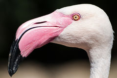 Phoenicopterus roseus / Greater flamingo head details side view Royalty Free Stock Photography