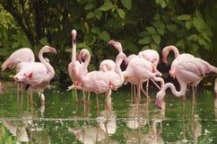 Phoenicopterus roseus, pink flamingo Stock Photo