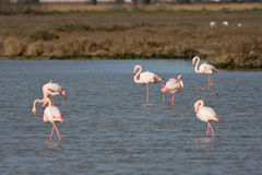 Phoenicopterus ruber. Group of flamingo (Phoenicopterus ruber) in a marsh Stock Photography