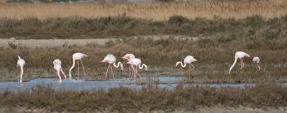 Phoenicopterus ruber. Group of flamingo (Phoenicopterus ruber) in a marsh Royalty Free Stock Photos