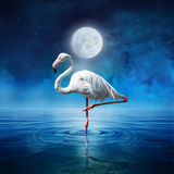 Phoenicopterus ruber. Standing on the sea water in the moonlight Royalty Free Stock Photo