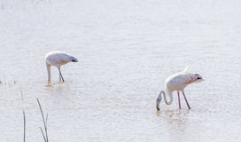 Phoenicopterus ruber, greater flamingo Stock Image