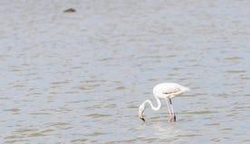 Phoenicopterus ruber, greater flamingo Stock Images