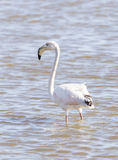 Phoenicopterus ruber, greater flamingo Royalty Free Stock Images