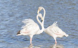 Phoenicopterus ruber, greater flamingo Stock Photography