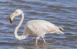 Phoenicopterus ruber, greater flamingo Royalty Free Stock Photo