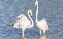 Phoenicopterus ruber, greater flamingo Royalty Free Stock Image