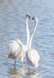 Phoenicopterus ruber, greater flamingo Stock Photo