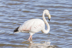 Phoenicopterus ruber, greater flamingo Royalty Free Stock Photography
