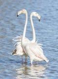 Phoenicopterus ruber, greater flamingo Stock Photography