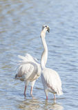 Phoenicopterus ruber, greater flamingo Royalty Free Stock Photos