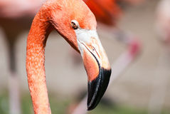 Phoenicopterus ruber ruber, American flamingo, Caribbean Flamingo head side profile detail Stock Photo