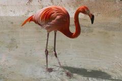 Phoenicopterus ruber ruber red flamingo Stock Photo