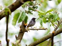 Phoenicurus bird Stock Images