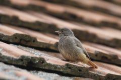 Phoenicurus ochruros,黑Redstart… 库存照片