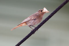 Phoenicurus ochruros, Black Redstart. Stock Images
