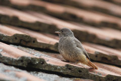 Phoenicurus ochruros,Black Redstart... Stock Photo