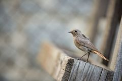 Phoenicurus ochruros. Little bird. Expanded throughout Europe and Asia. Free nature. Spring nature. From bird life. Photographed in the Czech Republic royalty free stock photography