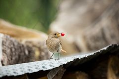 Phoenicurus ochruros. Little bird. Expanded throughout Europe and Asia. Free nature. Spring nature. From bird life. Photographed in the Czech Republic stock photo