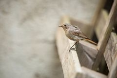 Phoenicurus ochruros. Little bird. Expanded throughout Europe and Asia. Free nature. Spring nature. From bird life. Photographed in the Czech Republic stock photos