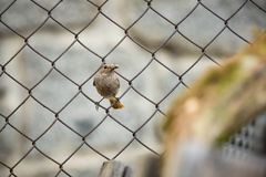 Phoenicurus ochruros. Little bird. Expanded throughout Europe and Asia. Free nature. Spring nature. From bird life. Photographed in the Czech Republic stock images
